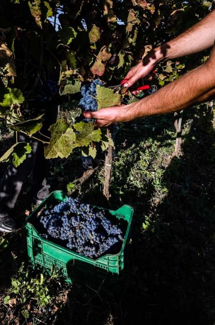 "L'Aglianico è un vitigno rosso coltivato prevalentemente in Basilicata, Campania, Puglia e Molise. È un vitigno antico, probabilmente originario della Grecia e introdotto in Italia intorno al VII-VI secolo a.C. Una delle tante testimonianze della sua lunga storia è il ritrovamento dei resti di un torchio romano nella zona di Rionero in Vulture, provincia di Potenza. Non ci sono certezze sulle origini del nome, che potrebbero risalire all'antica città di Elea (Eleanico), sulla costa tirrenica della Campania, o essere più semplicemente una storpiatura della parola Ellenico. Testimonianze storico-letterarie sulla presenza di questo vitigno si trovano in Orazio, che cantò le qualità della sua terra natia Venosa e del suo ottimo vino. Il nome originario (Elleanico o Ellenico) divenne Aglianico durante la dominazione aragonese nel corso del XV secolo, a causa della doppia l pronunciata gli nell'uso fonetico spagnolo. E' il vitigno fondamentale per la produzione del prestigioso Taurasi, importante DOCG rosso del Sud Italia.  Aglianico (pronounced [aʎˈʎaːniko], roughly ""ahl-YAH-nee-koe"") is a black grape grown in the Basilicata and Campania regions of Italy. The vine originated in Greece and was brought to the south of Italy by Greek settlers. The name may be a corruption of vitis hellenica, Latin for ""Greek vine."" Another etymology posits a corruption of Apulianicum, the Latin name for the whole of southern Italy in the time of ancient Rome. During this period, it was the principal grape of the famous Falernian wine, the Roman equivalent of a first-growth wine today.  In Campania, the area in and around the village of Taurasi produces Aglianico's only DOCG wine, also called Taurasi.  The Aglianico vine buds early and grows best in dry climates with generous amounts of sunshine. It has good resistance to outbreaks of oidium, but can be very susceptible to Peronospera. It also has low resistance to botrytis, but since it is much too tannic to make a worthwhile dessert wine, the presence of this noble rot in the vineyard is more of a viticultural hazard than an advantage. The grape has a tendency to ripen late, with harvests as late as November in some parts of southern Italy. If the grape is picked too early, or with excessive yields, the grape can be aggressively tannic. The vine seems to thrive in particularly volcanic soils."