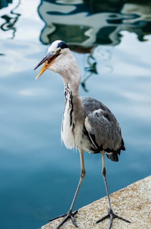 L'airone cenerino (Ardea cinerea Linnaeus, 1758) è un uccello appartenente alla famiglia Ardeidae[2]. Originario delle regioni temperate del Vecchio Mondo, oltre che dell'Africa, è la specie di airone che si spinge più a nord, tanto che in estate è facile incontrarlo lungo le coste norvegesi, ben oltre il circolo polare artico. Airone di notevoli dimensioni, raggiunge da adulto una statura di 90-98 centimetri e un peso compreso tra 1020 e 2073 grammi. L'apertura alare può facilmente raggiungere 1,70 metri. Il piumaggio è di colore grigio sulla parte superiore e bianco in quella inferiore. Le zampe e il becco sono gialli. L'adulto ha piume nere sul collo e un ciuffo nucale nero molto evidente che si diparte dalla sommità posteriore e superiore dell'occhio. Nei giovani predomina il colore grigio. Non vi sono segni particolari per distinguere le femmine dai maschi; solitamente i maschi sono un po' più grandi. Come tutti gli aironi, vola tenendo il collo ripiegato a S. Predilige le pianure, ma non è raro incontrarlo anche a quote che possono raggiungere i 2000 metri sul livello del mare. In Italia lo si trova in Pianura Padana, soprattutto lungo i fiumi e nelle zone della Lombardia e del Piemonte dove è dominante la risaia. È presente anche nel Veneto, in alcuni specchi d'acqua del bellunese durante il periodo primaverile - estivo (es. Lago del Corlo), nella zona del Delta del Po, da qualche anno (complice il divieto di caccia) nei corsi d'acqua all'interno del Parco Colli Euganei (Padova). In Toscana, lungo le sponde dell'Arno, del Serchio, e nell'alta valle del Velino; è abbondante anche lungo il Tevere e i suoi affluenti. La presenza dell'airone cenerino è accertata con alcune piccole garzaie anche nelle Marche, in particolare lungo il fiume Metauro (PU) ed il fiume Esino (AN). Gregario, nidifica in colonie denominate garzaie insieme ad altre specie di Ardeidi. The Grey Heron (Ardea cinerea), is a wading bird of the heron family Ardeidae, native througho