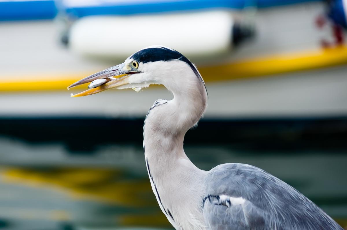 Un airone cinerino al porto di Camogli con preda nel becco