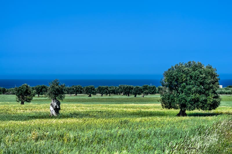 A view of Ostuni plain with olive trees