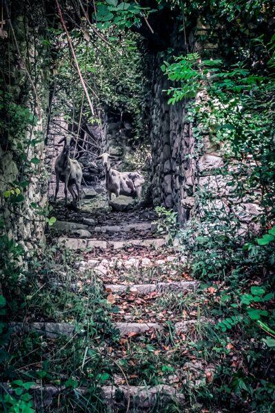 San Pietro Infine - Sheep wandering among the ruinbes