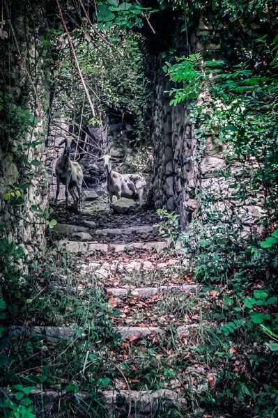 San Pietro Infine - Pecore tra le rovine