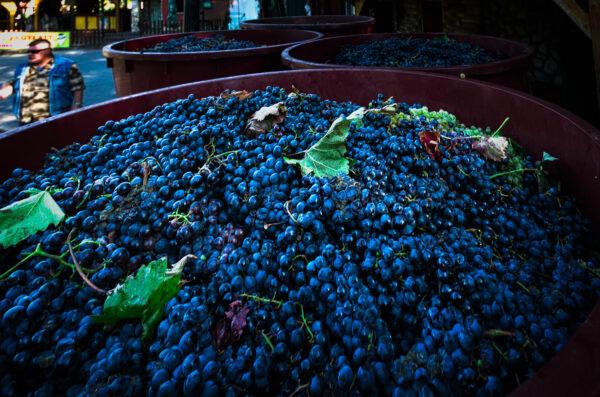 Grape harvesting in Eger