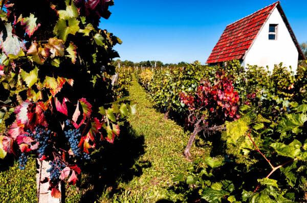 Harvest time around Eger