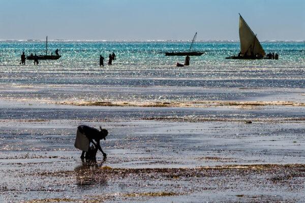 Jambiani Zanzibar Collecting shells with low tide in Jambiani